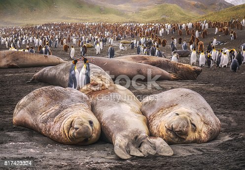 istock Large elephant seals lying on the ground looking at camera with colony of king penguins in the background. South Georgia Island. 817423324