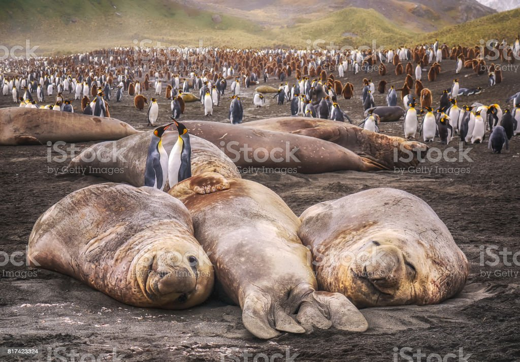 Large elephant seals lying on the ground looking at camera with colony of king penguins in the background. South Georgia Island. stock photo