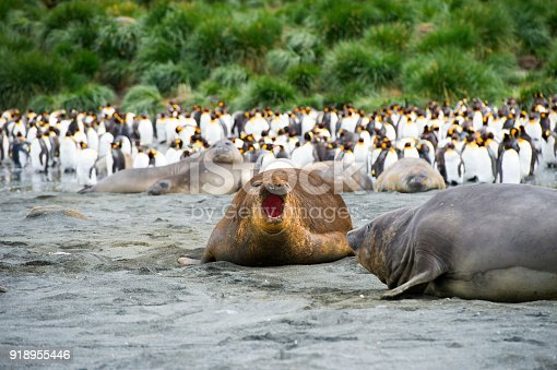istock Large elephant seals lying on the ground looking . South Georgia Island 918955446