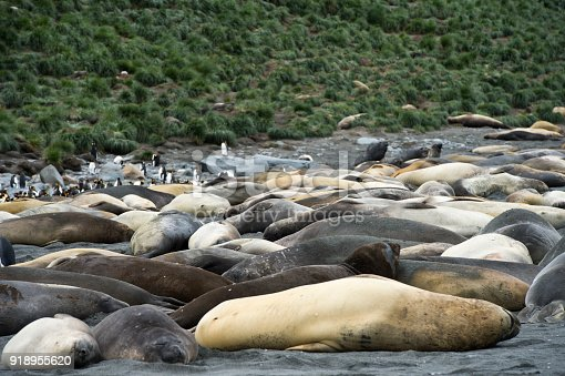 istock Large elephant seals lying on the ground looking . South Georgia Island 918955620