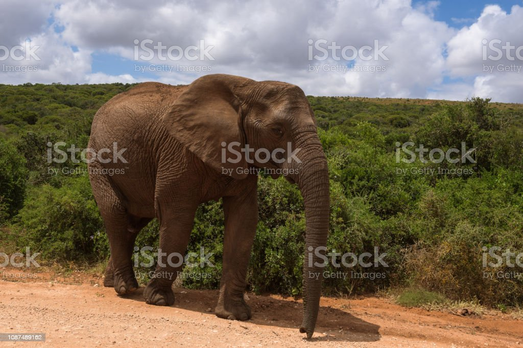 Large elephants passing by at close range in Addo Elephant Park stock photo