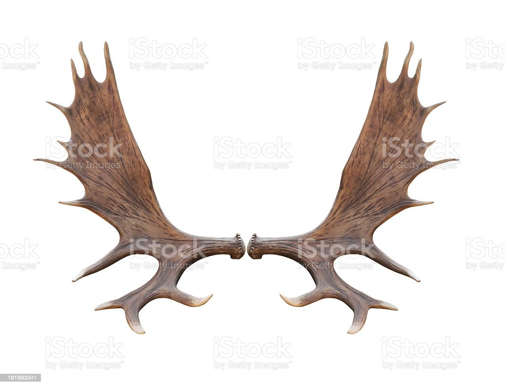Large elk antlers on white background stock photo