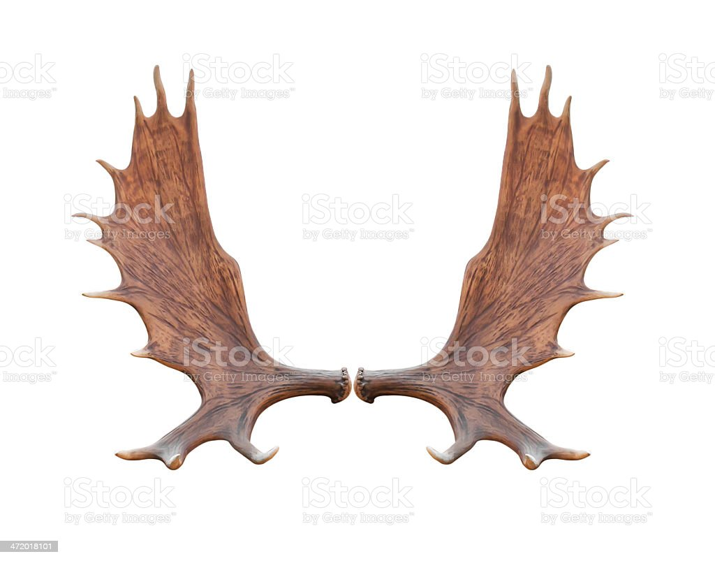 Large elk isolated stock photo