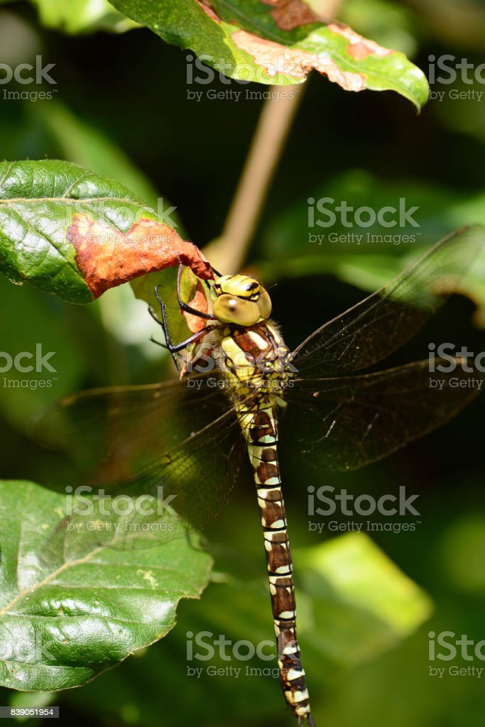Large emperor dragonfly with brown markings. stock photo