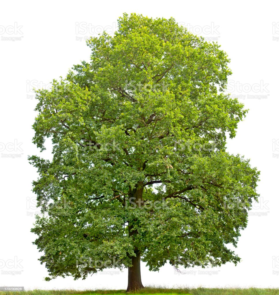 Large English Oak (Quercus robur) isolated on white. stock photo