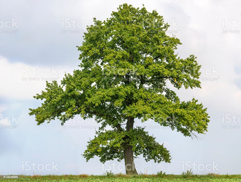 Large English Oak or Quercus robur against a bright sky. stock photo