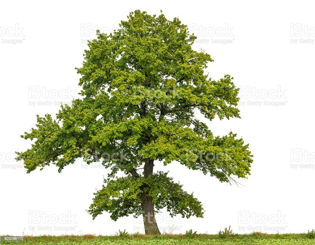 Large English Oak or Quercus robur isolated on white. stock photo
