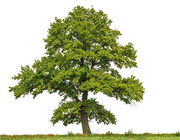 Large English Oak or Quercus robur isolated on white. stock photo