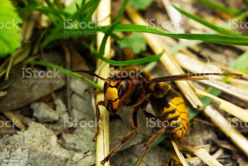 Large European hornet (Vespa crabro) crawls on ground stock photo