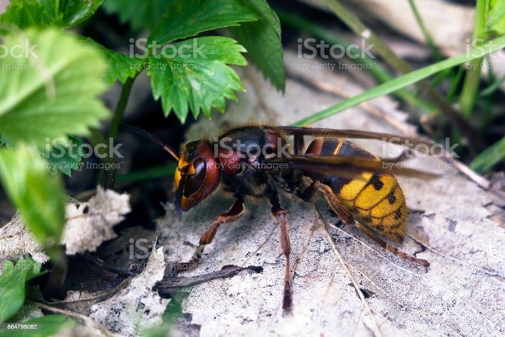 Large European hornet (Vespa crabro) side view stock photo