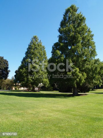 Large Evergreen Trees Stock Photo & More Pictures of Blue