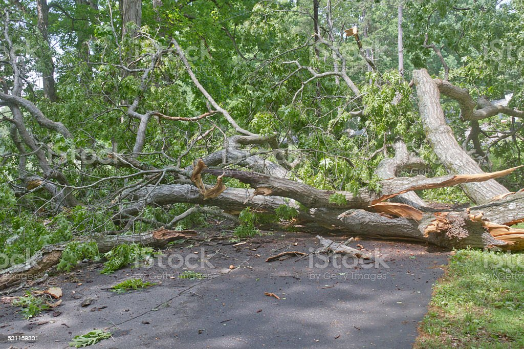 Large Fallen Oak Obstructs Road stock photo