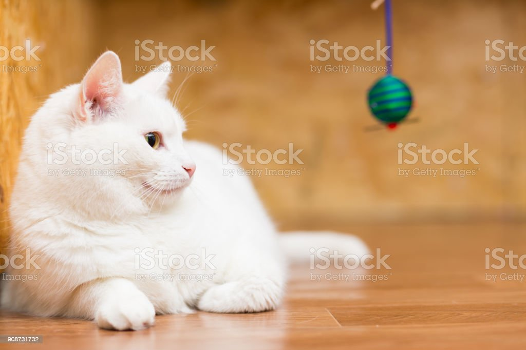 A large fat white cat lies on the floor, stretching its paws and looking to the side stock photo