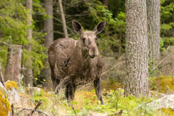 stor honälgbete i skog - älg sverige bildbanksfoton och bilder