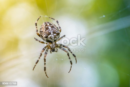 A large female of garden-spider brown is sitting in the center of its web