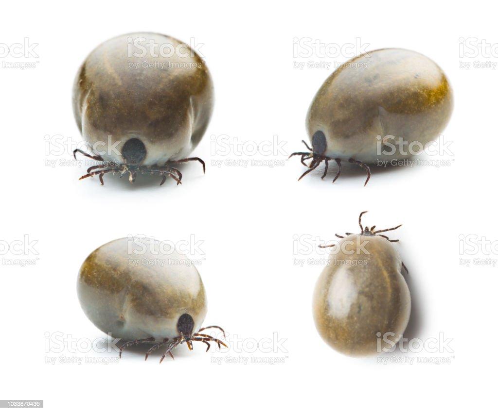 Große Weibchen der Zecke isoliert auf weißem Hintergrund. – Foto