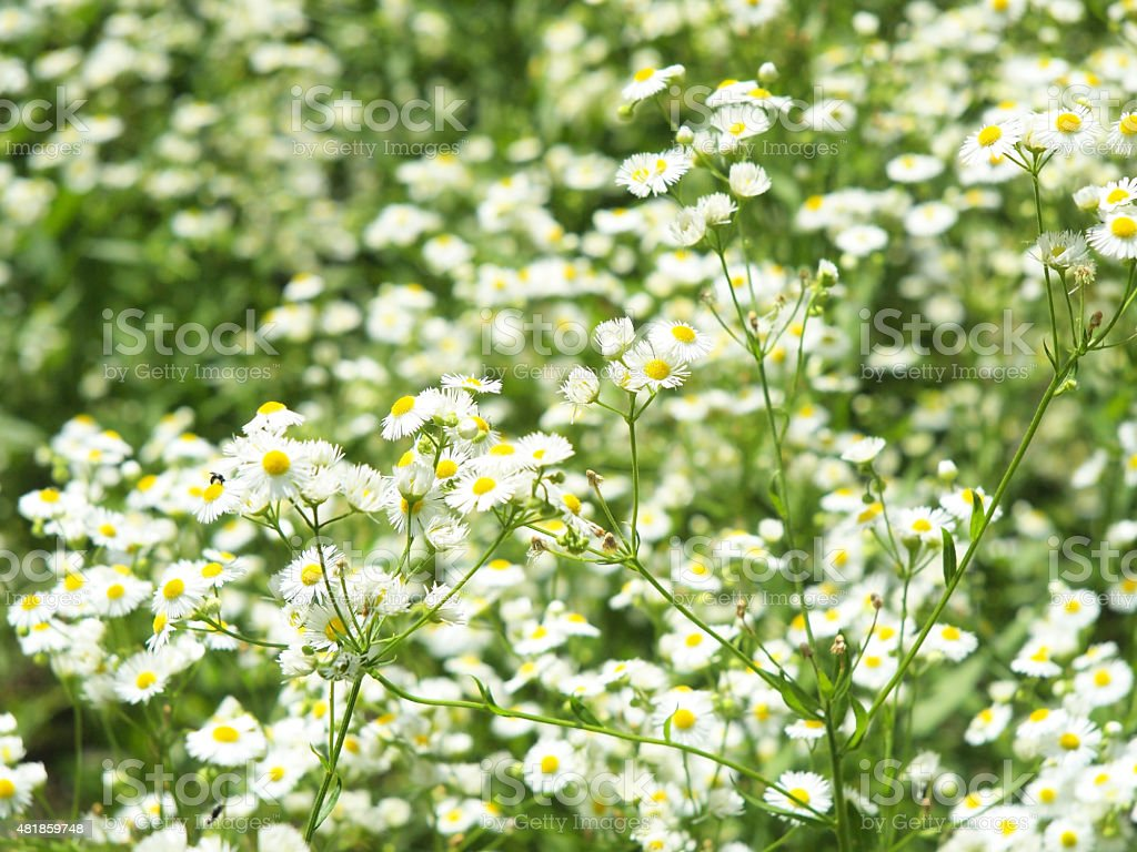 Large field overgrown with small white daisy flowers closeup stock large field overgrown with small white daisy flowers closeup royalty free stock photo izmirmasajfo