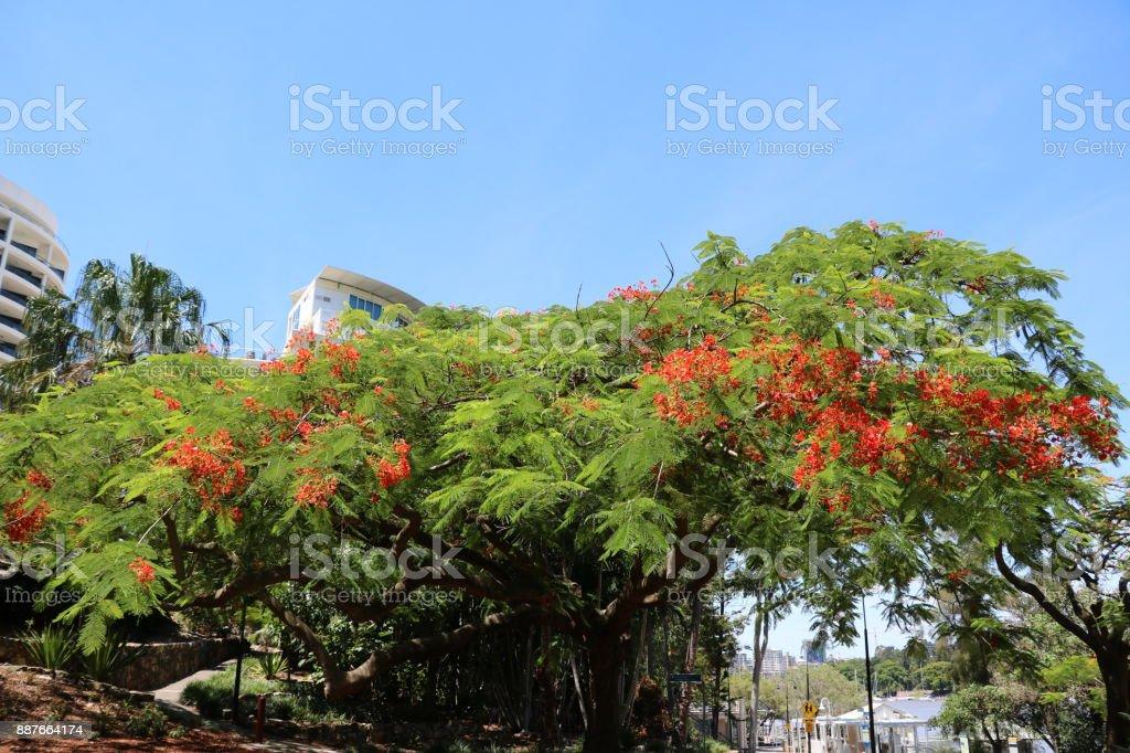 Large Flame tree or Delonix regia in Brisbane in summer, Queensland Australia stock photo