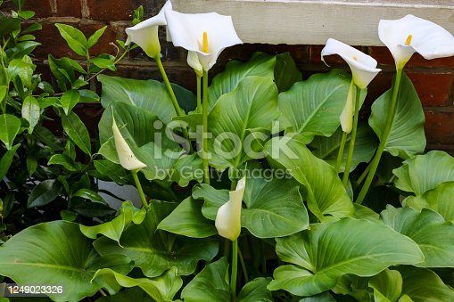 Large flawless white Calla lilies flowers, Zantedeschia aethiopica, with a bright yellow spadix in the centre of each flower.  The flowers are surrounded by lush green leaves in springtime in London.