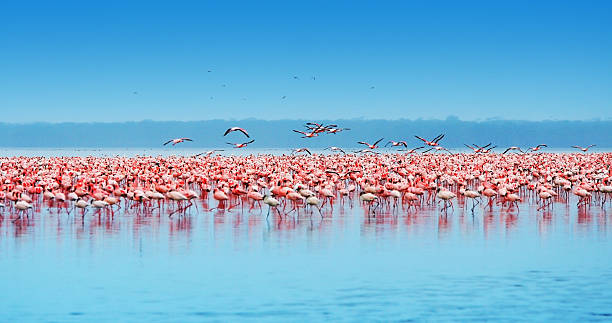 large flock of african flamingos on the water - wildplassen stockfoto's en -beelden