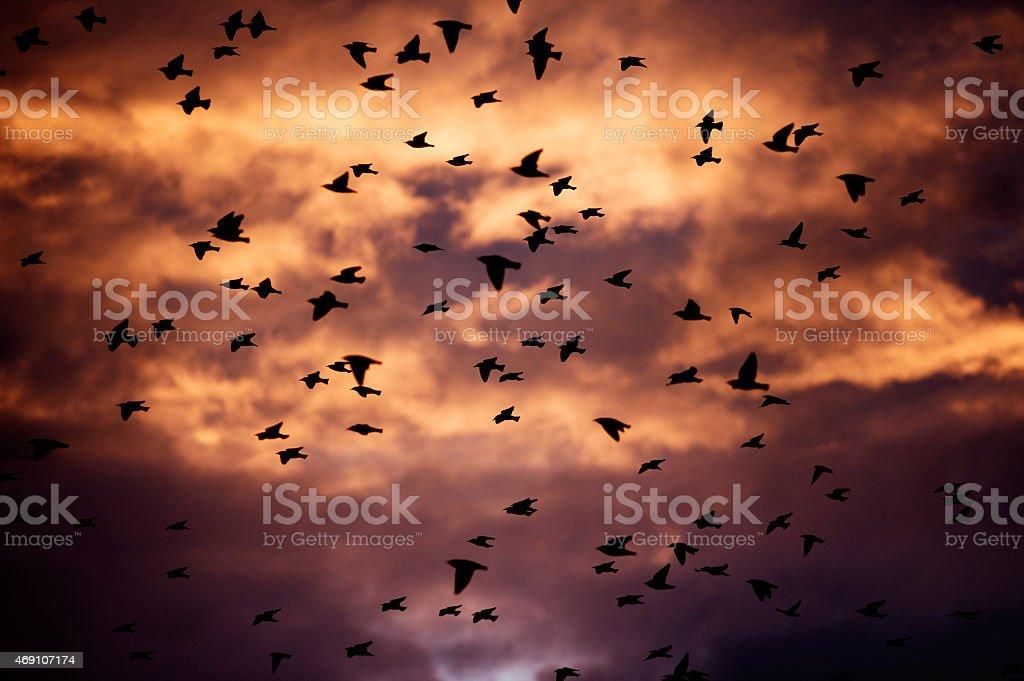 Grande Bando de Pássaros no pôr-do-sol - foto de acervo