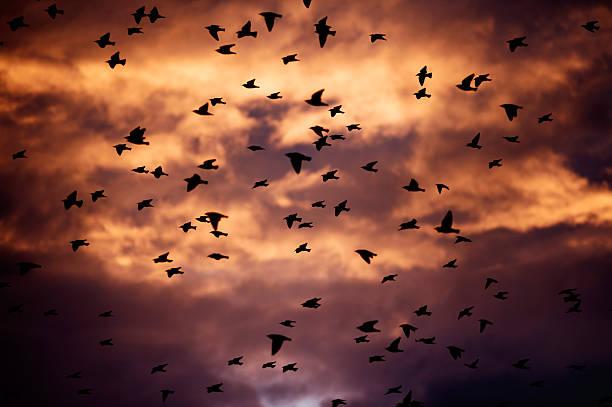large flock of birds at sunset stock photo