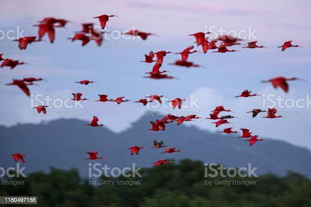 Large flock of scarlet ibis eudocimus ruber returning to resting in picture id1150497155?b=1&k=6&m=1150497155&s=612x612&h=coeqv0ayuaydm9sm0utldffias9agdiha33ffcdw0 w=