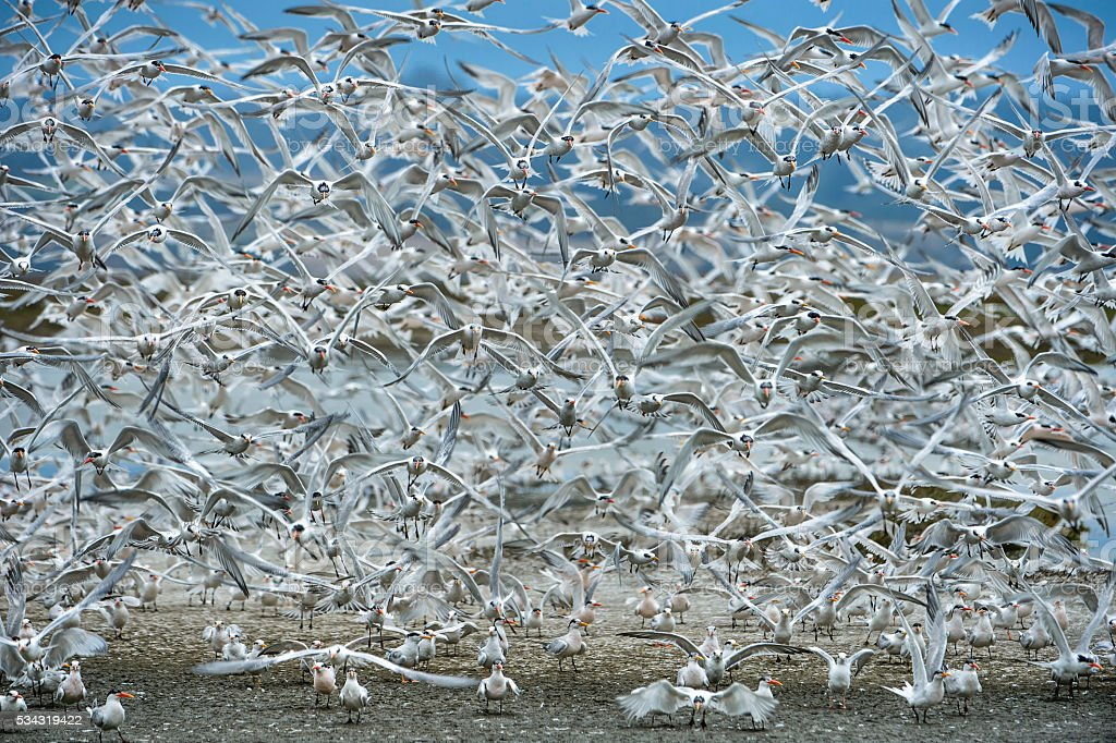 Large Flock of Tern Birds Flying En Masse From Feeding stock photo