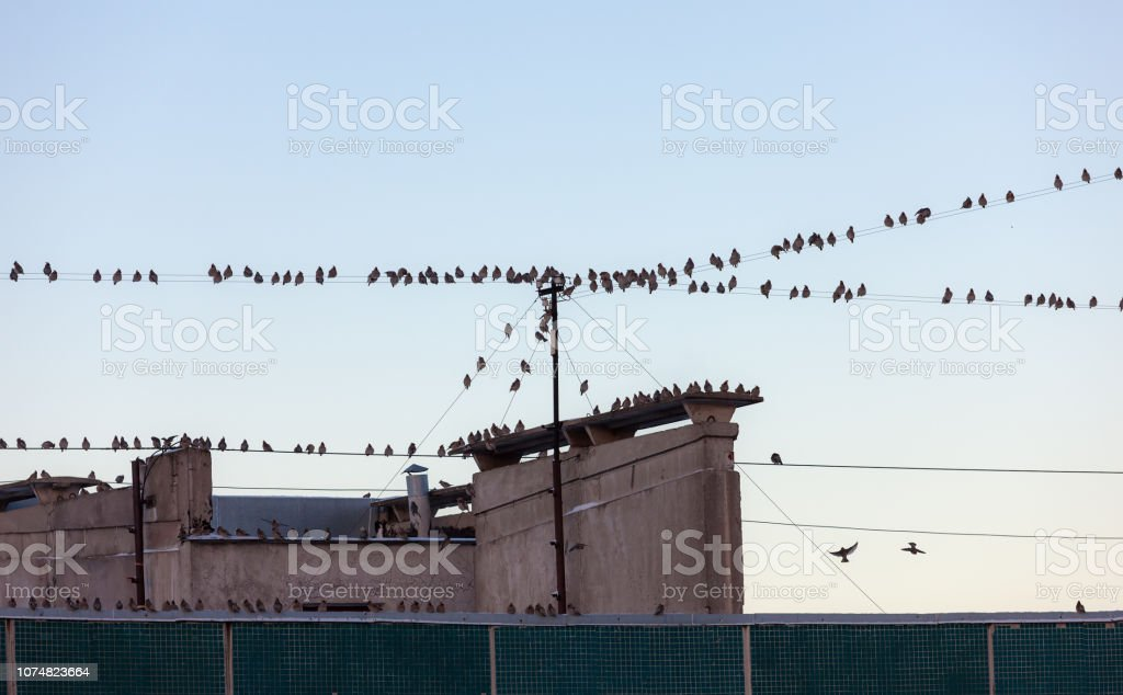 large flock of waxwings stock photo
