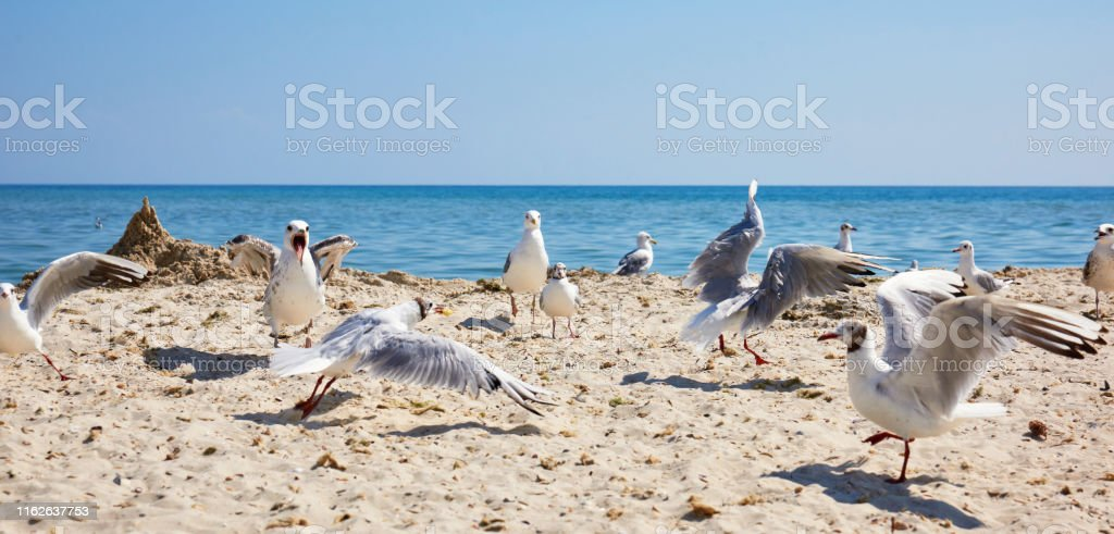 large flock of white sea gulls on the sandy shore of the Black Sea,...