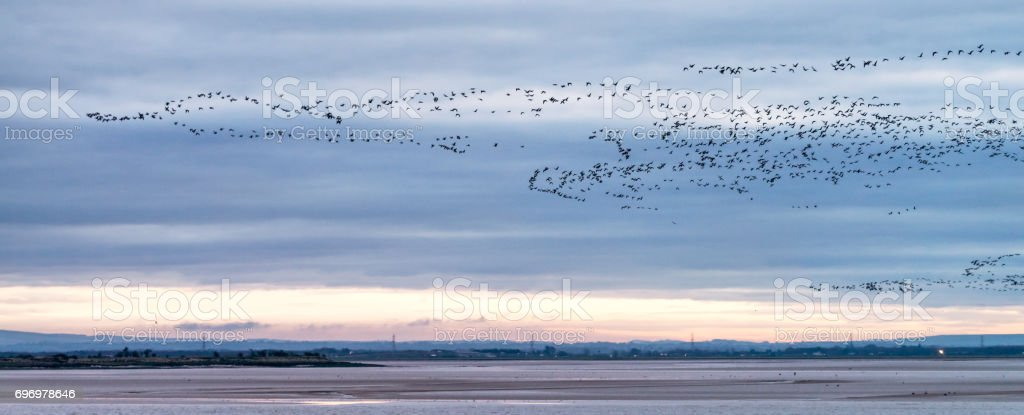 Large flocks of geese over the Solway Firth in Scotland stock photo