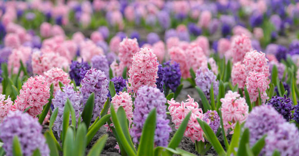 Large flower bed with multi-colored hyacinths large flower bed with multi-colored hyacinths plant bulb stock pictures, royalty-free photos & images