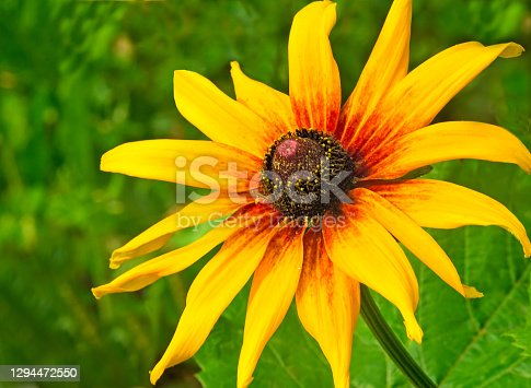 Beautiful yellow flowers of a sunflower with green leaves against the blue sky.