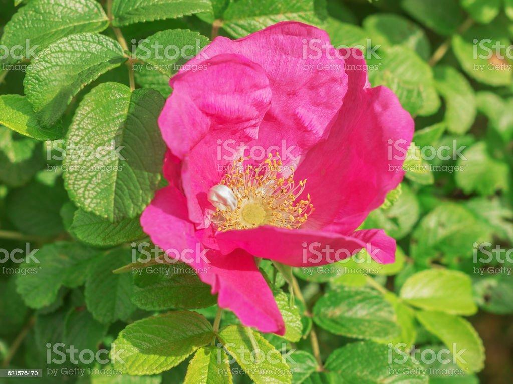 Large flower wild rose photo libre de droits