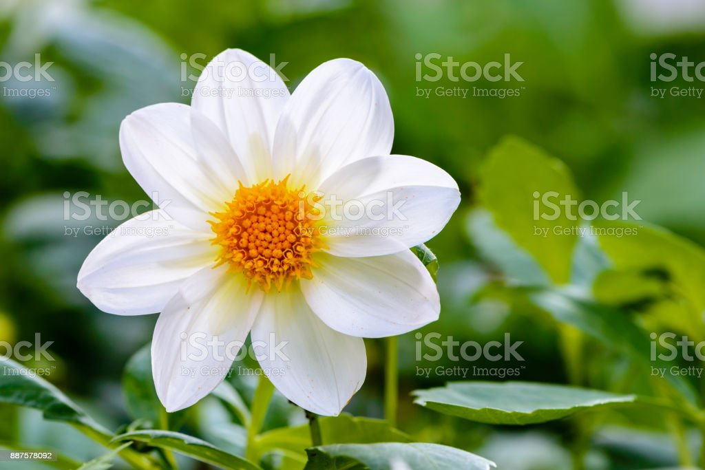 Large flower with white petals and an orange bud grows on the lawn stock photo