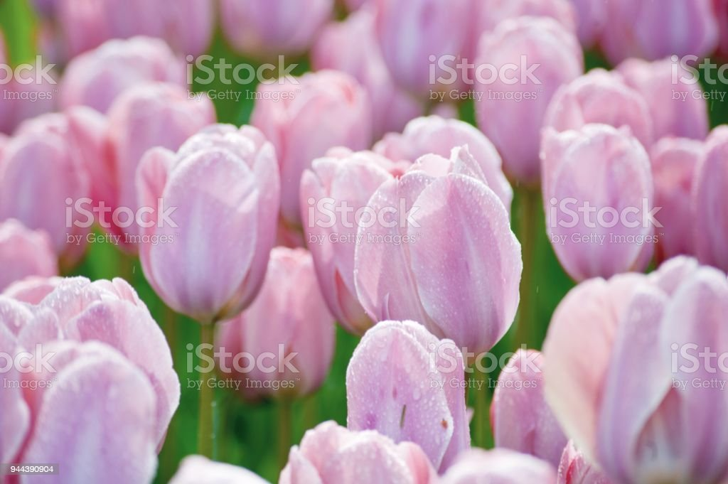 Large Flowerbed Of Blossoming Bright Spring Flowers Stock Photo