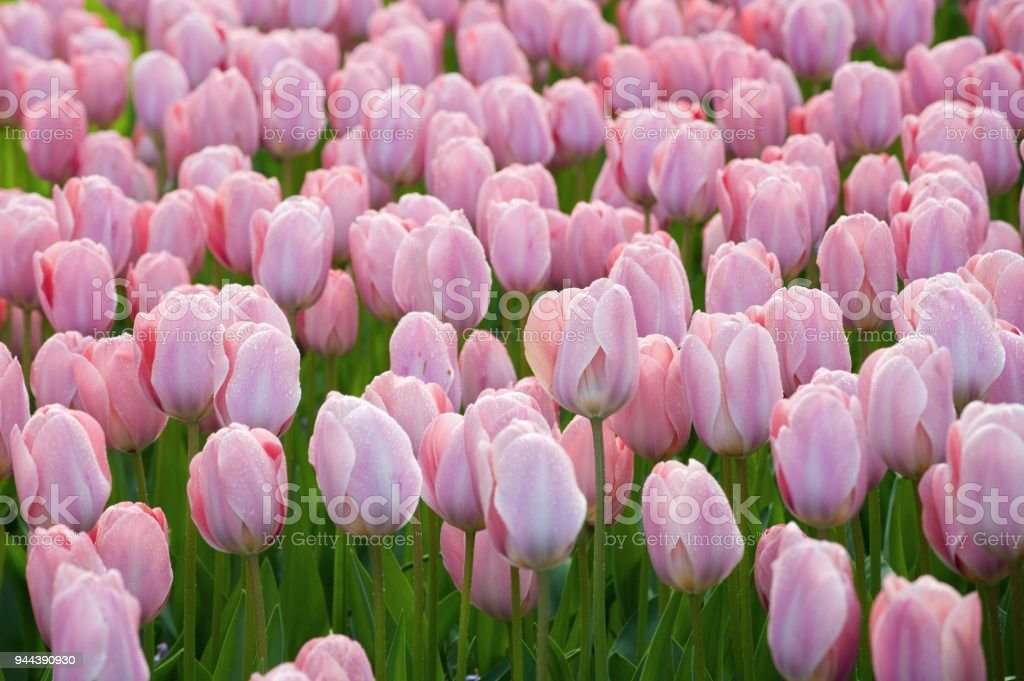 Large flowerbed of blossoming bright spring flowers stock photo large flowerbed of blossoming bright spring flowers royalty free stock photo mightylinksfo