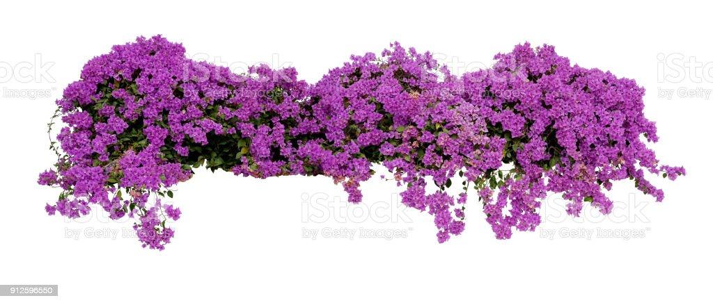 gro e bl te verbreiten strauch der violetten bougainvillea tropische blume kletterer rebe. Black Bedroom Furniture Sets. Home Design Ideas
