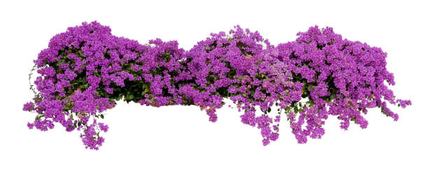 Large flowering spreading shrub of purple bougainvillea tropical picture id912596550?b=1&k=6&m=912596550&s=612x612&w=0&h=xtfbuo1tjto066e3cpa sy68y cmkrkmfkko9ezx1ds=
