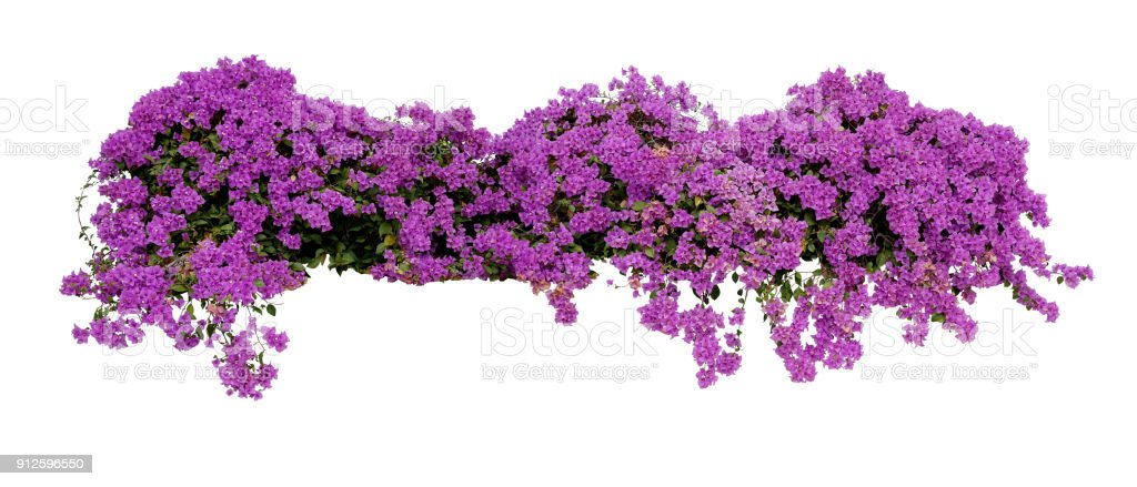 Large flowering spreading shrub of purple Bougainvillea tropical flower climber vine landscape plant isolated on white background, clipping path included. stock photo