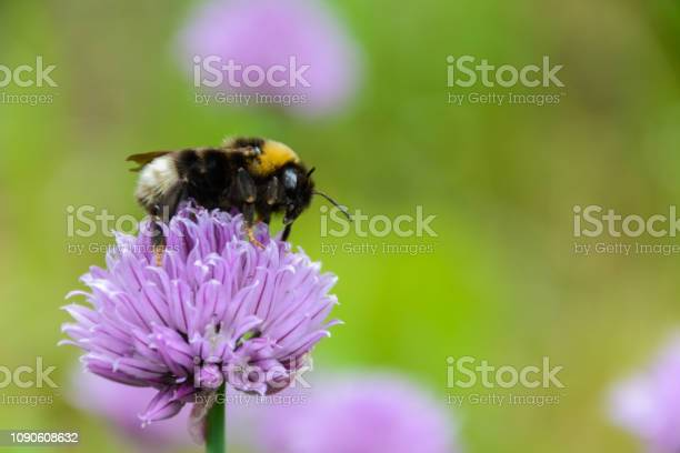 Photo of Large fluffy bumblebee (bombus terrestris) close up. Background with a bumblebee pollinating purple