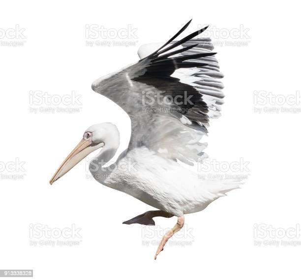 Large flying pelican on white picture id913338328?b=1&k=6&m=913338328&s=612x612&h=oapg guicc1pvoudyq0 zjajixqr h4xemaxpym3hy4=