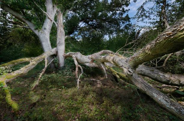 Großer Waldbaum durch starken Wind stark beschädigt – Foto