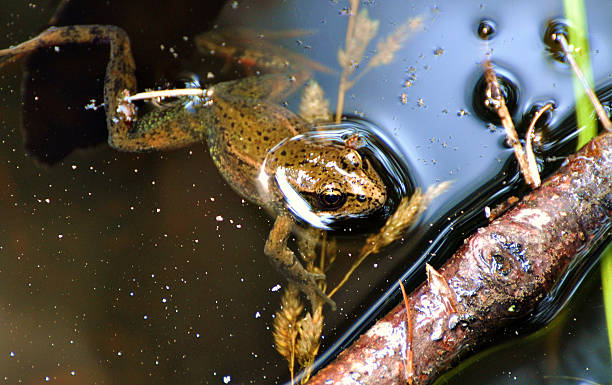 Large Frog In A Murky Pond
