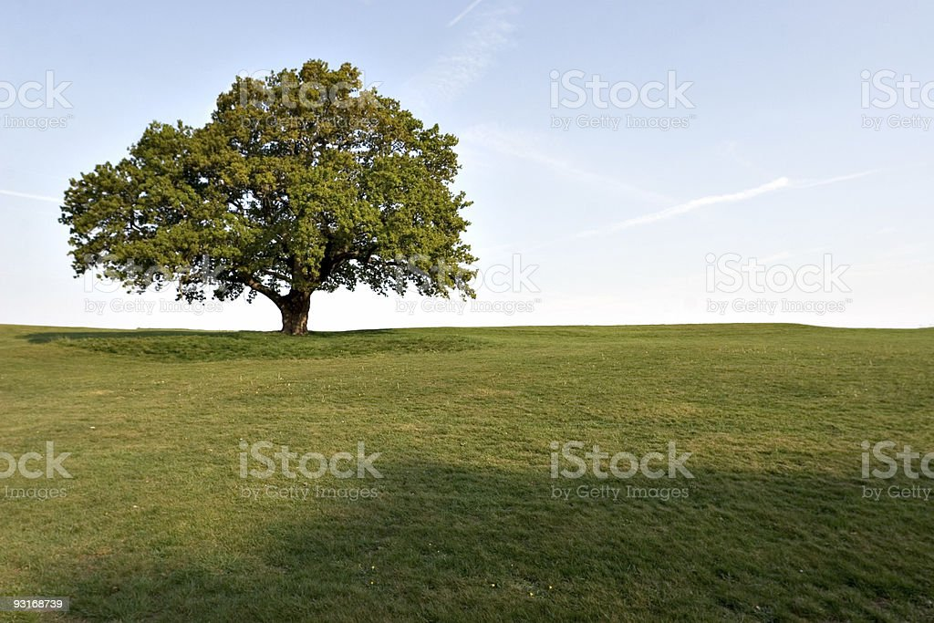 A large full oak tree isolated in green field in the spring royalty-free stock photo
