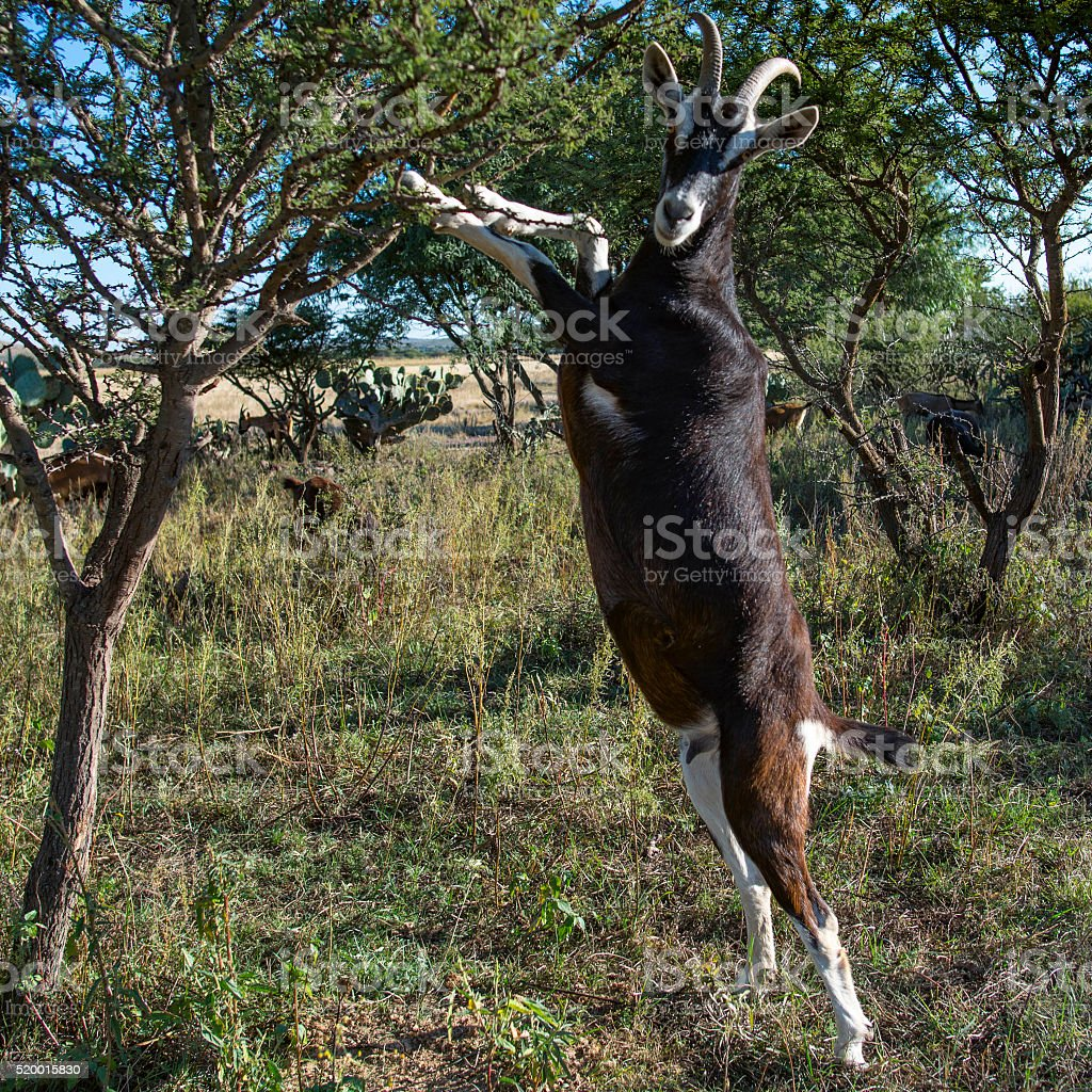 Large Goat On Hind Legs Leaning On Tree Looking At Viewer Stock