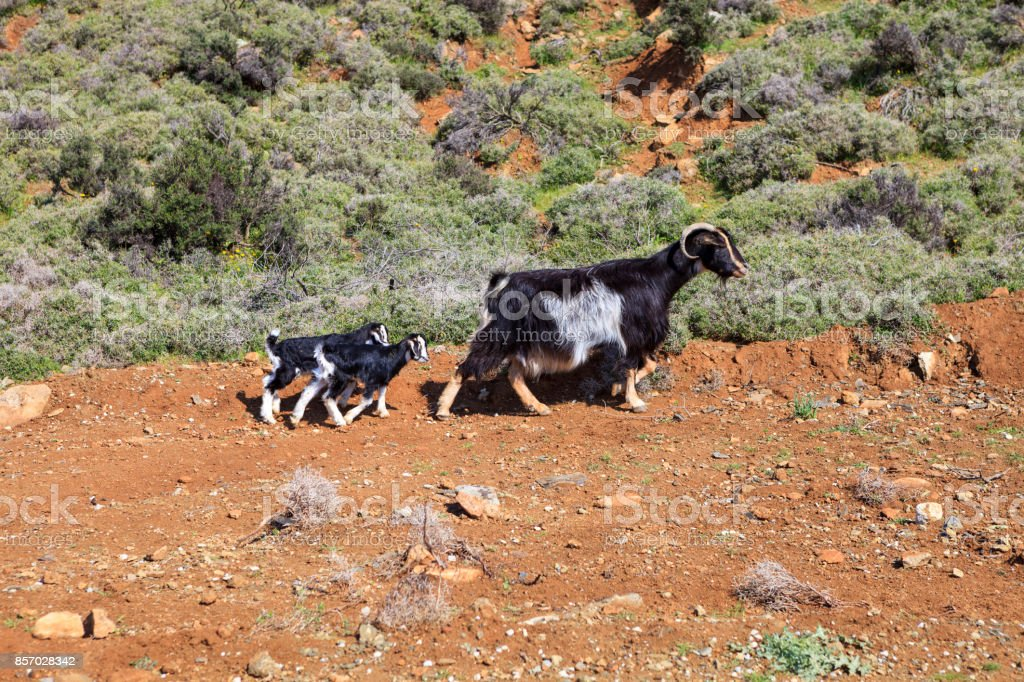 Large goat with two baby goats looking out into pasture stock photo