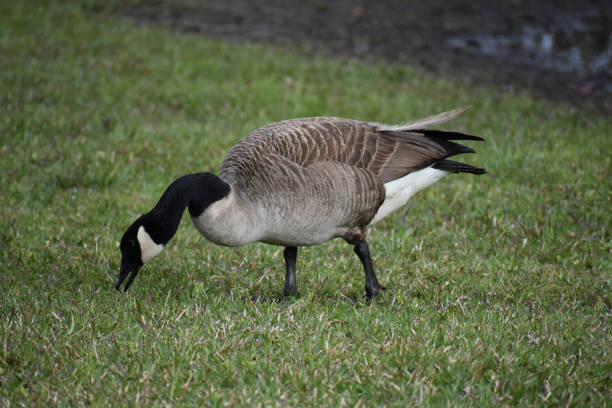 Large goose bird eating grass Eating Canadian goose canada goose stock pictures, royalty-free photos & images
