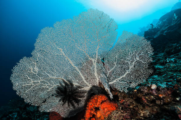 Large Gorgonian Coral Annella mollis, Raja Ampat Islands, Indonesia stock photo