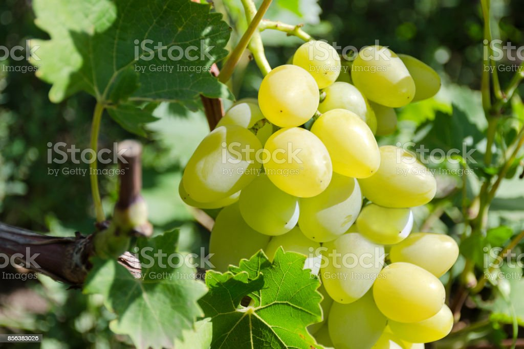 Large grape of white sorts on a grapevine close-up. Variety Delight white. Wine Grapes. stock photo